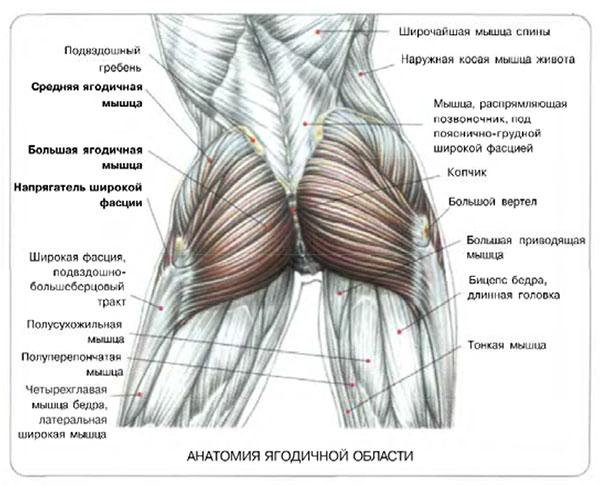 анатомия-ягодиц
