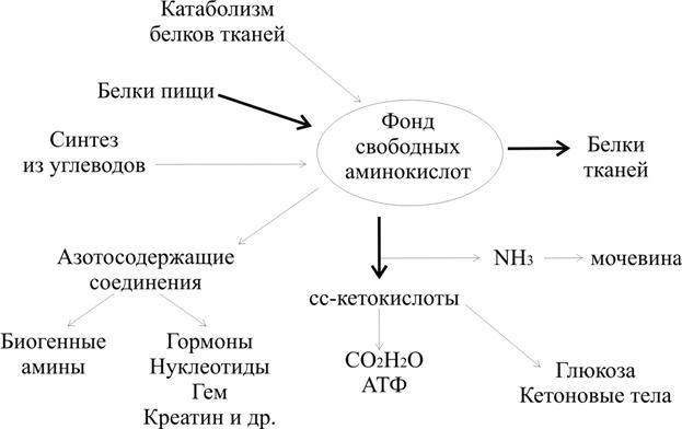 обмен аминокислот